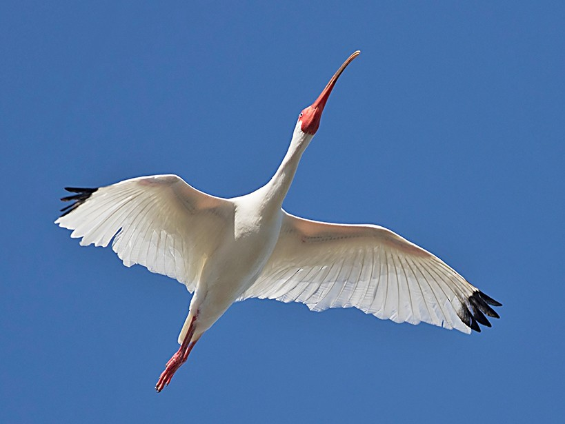 White Ibis - Tony Leukering