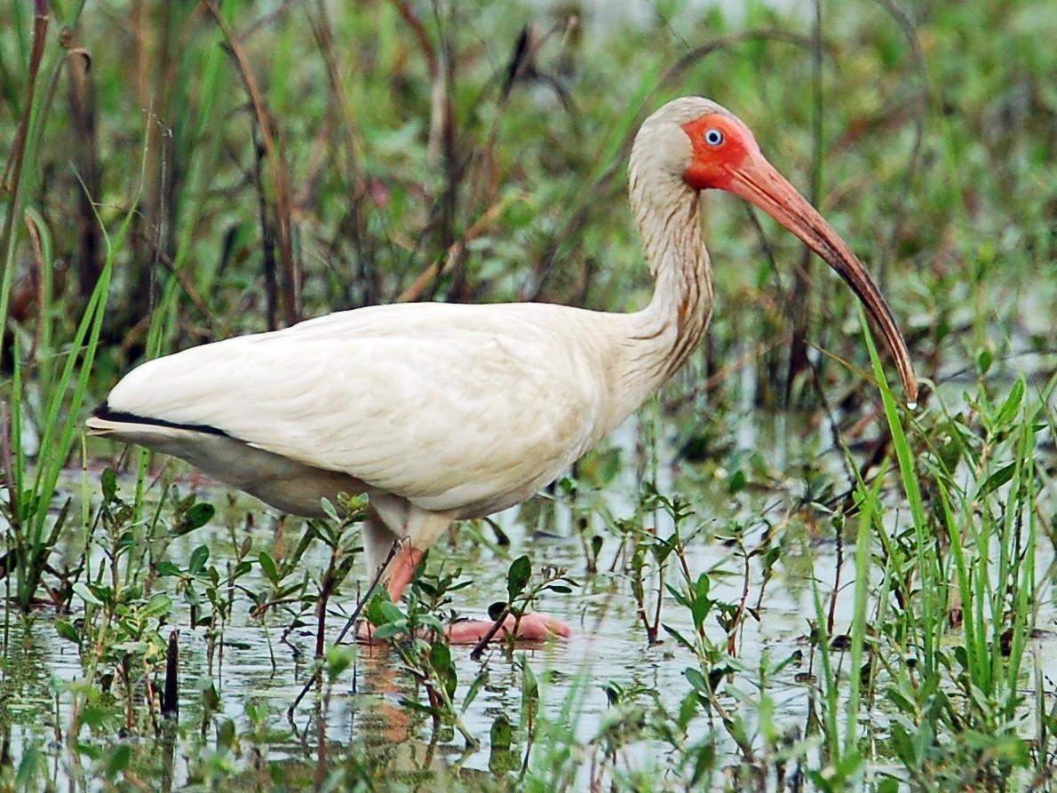 White Ibis - Mary Rachel Tucker