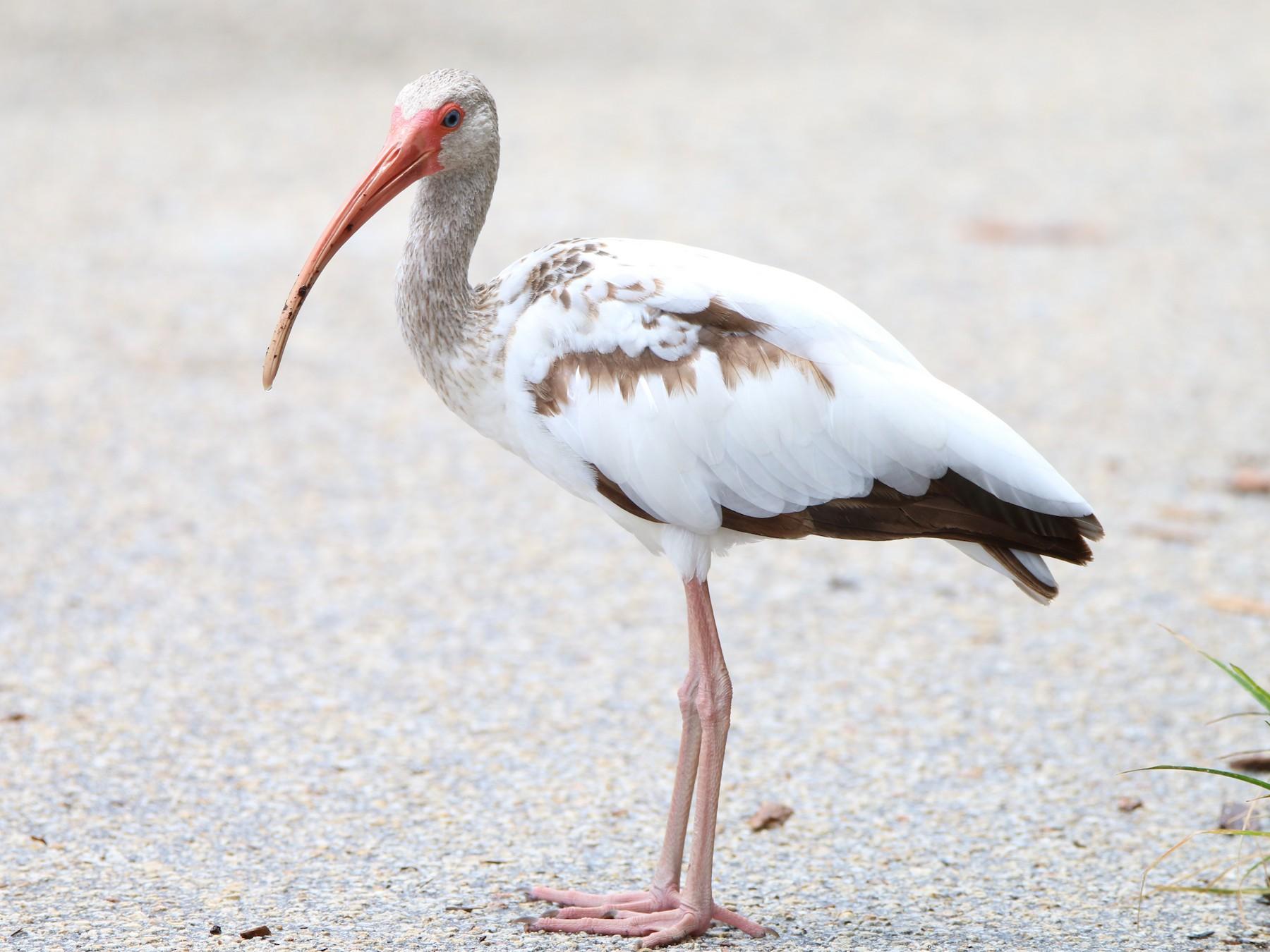 White Ibis - Wen & Steve Rockoff