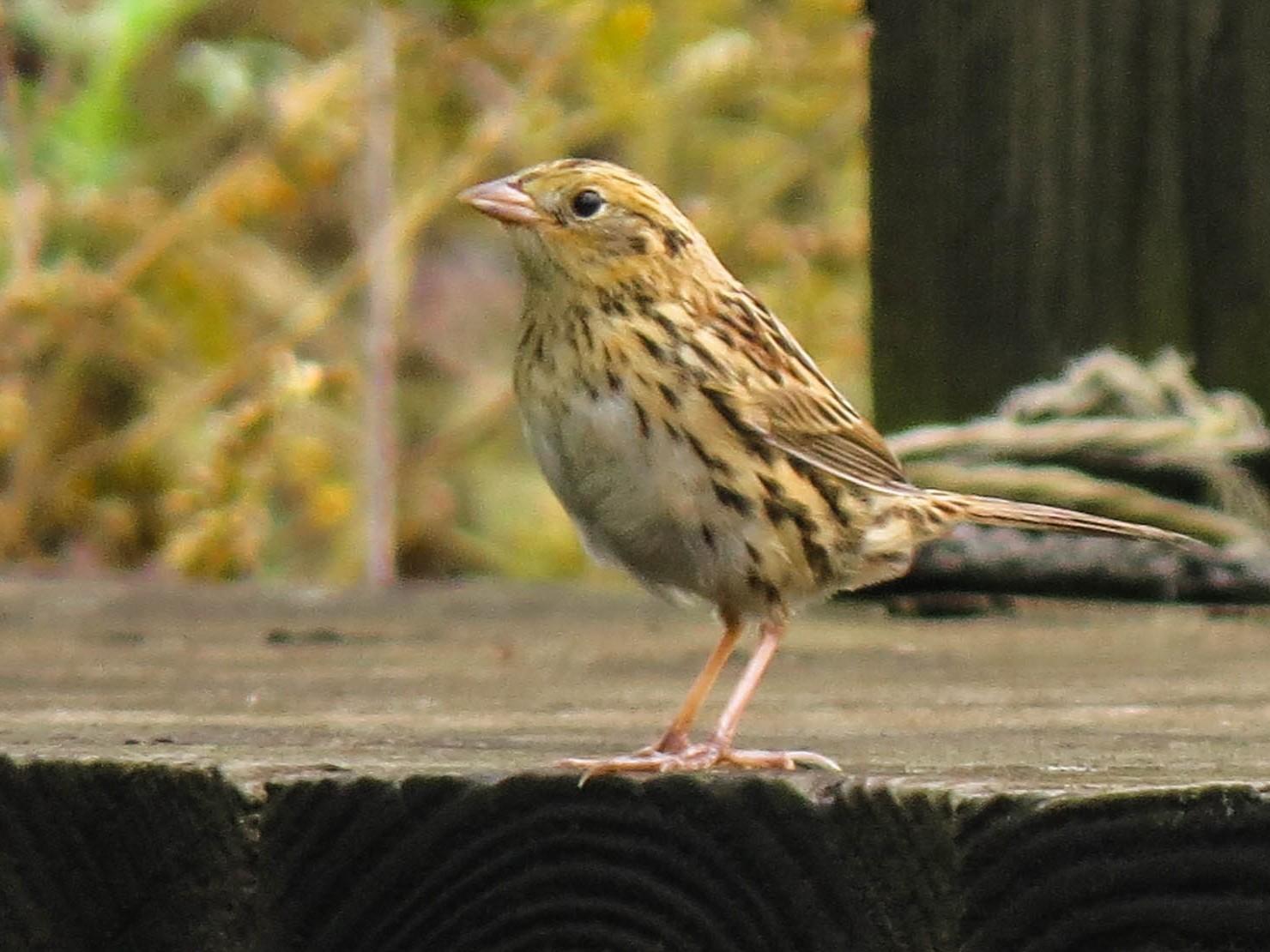 LeConte's Sparrow - Aidan Rominger