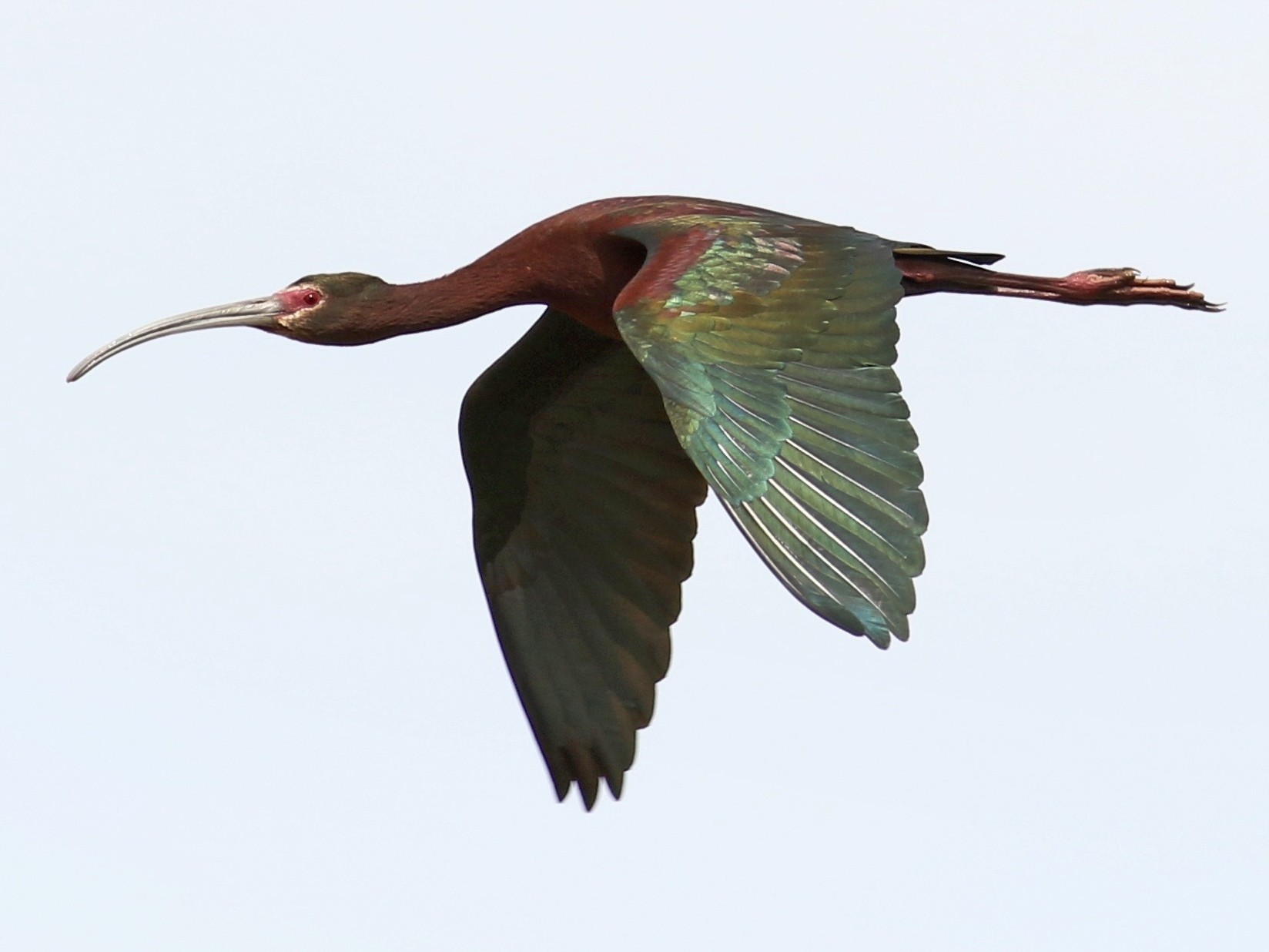 White-faced Ibis - Nathan Dubrow