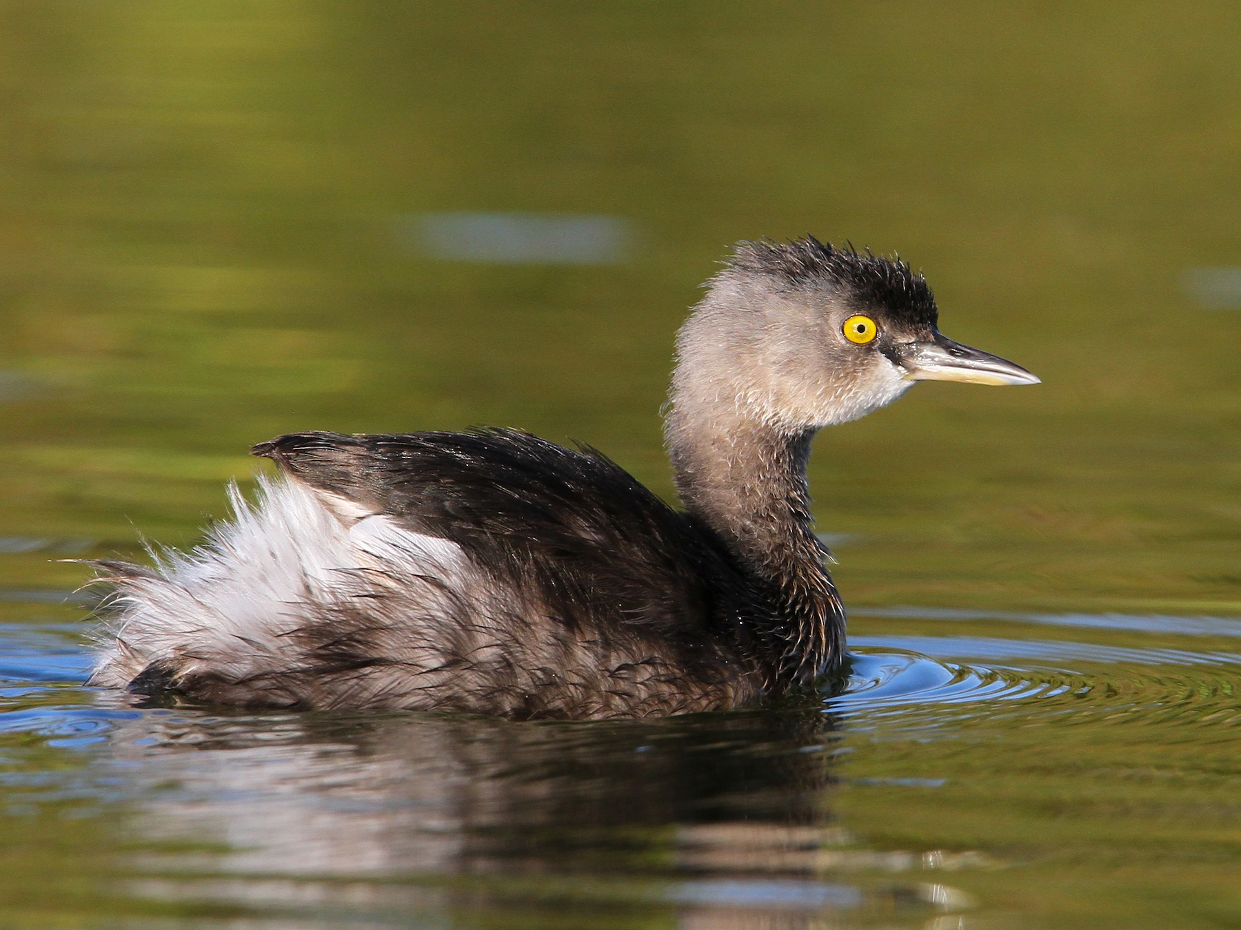 Least Grebe - Christoph Moning