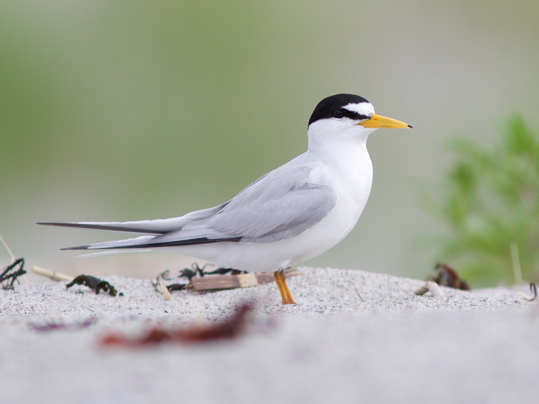 Least Tern - Doug Hitchcox