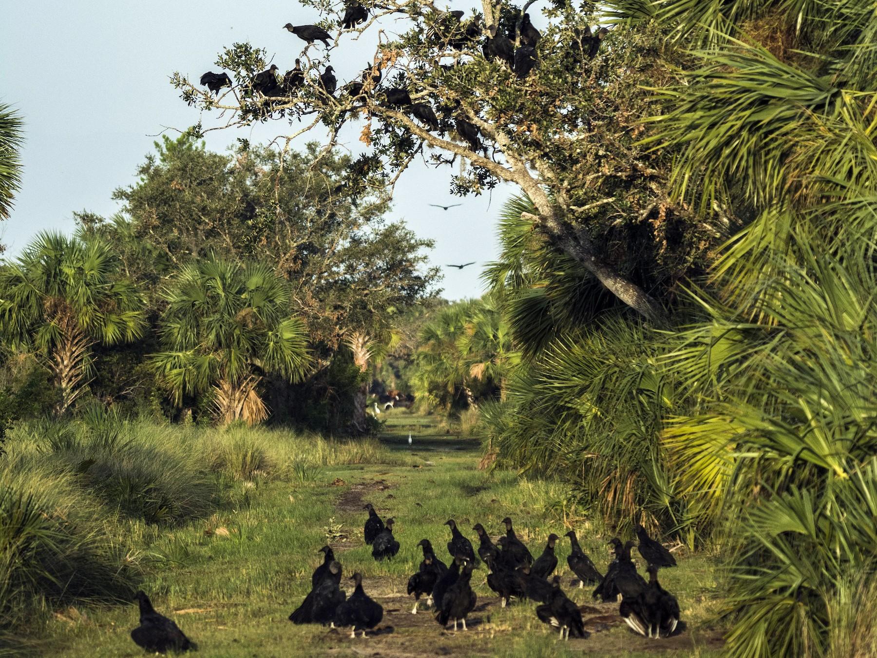 Black Vulture - joseph mileyka