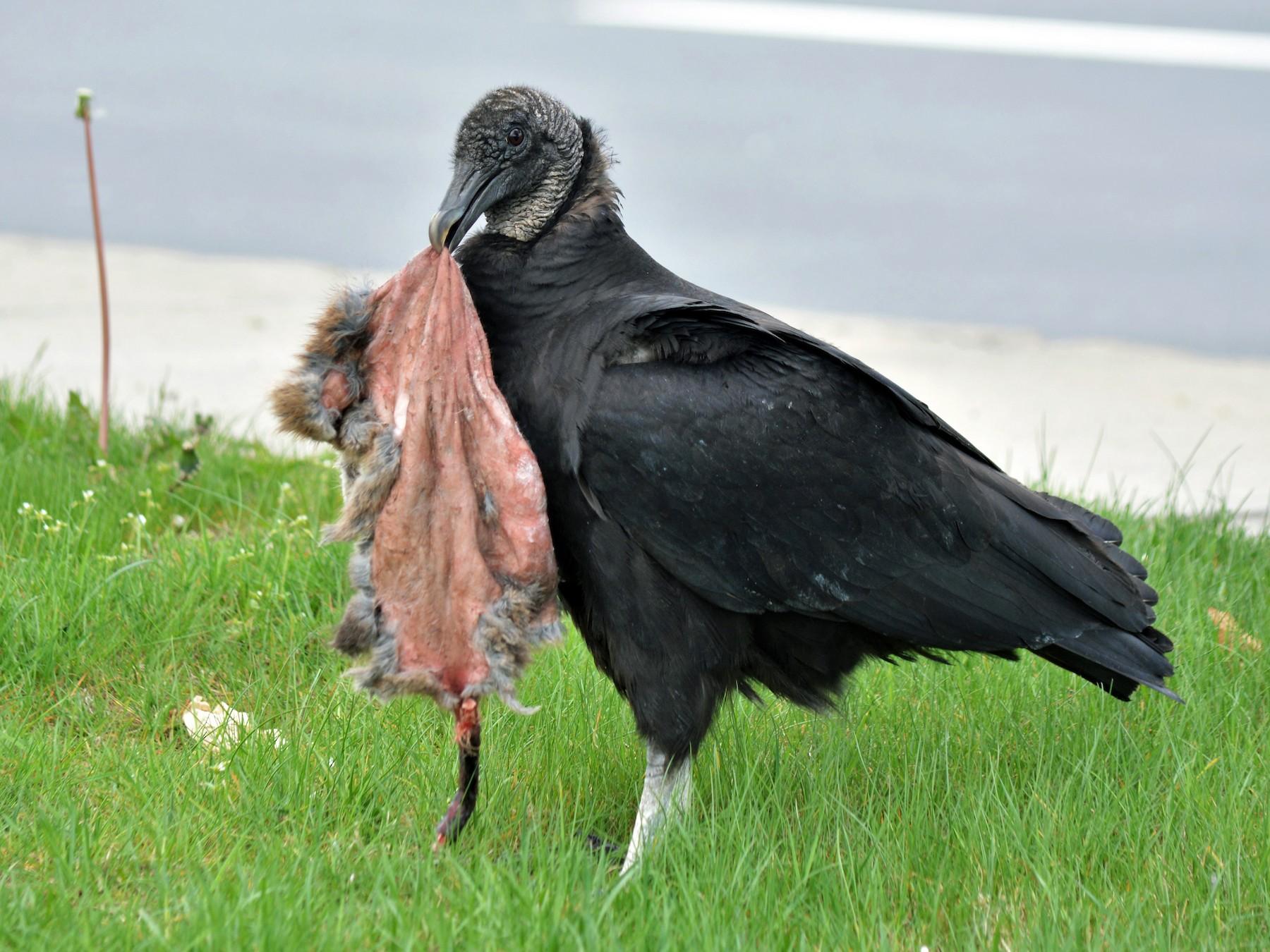 Black Vulture - Sam Zhang