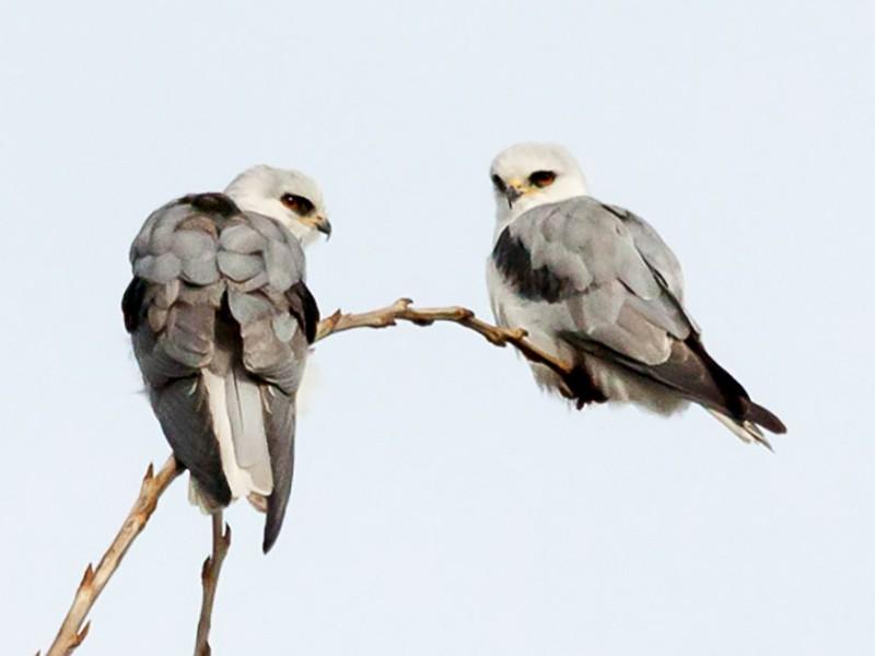 White-tailed Kite - Ariel Cabrera Foix