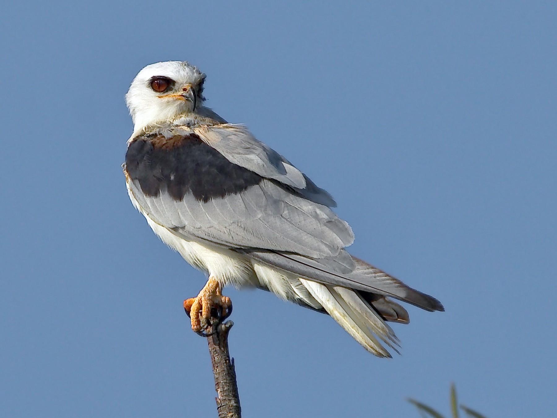 White-tailed Kite - DigiBirdTrek CA