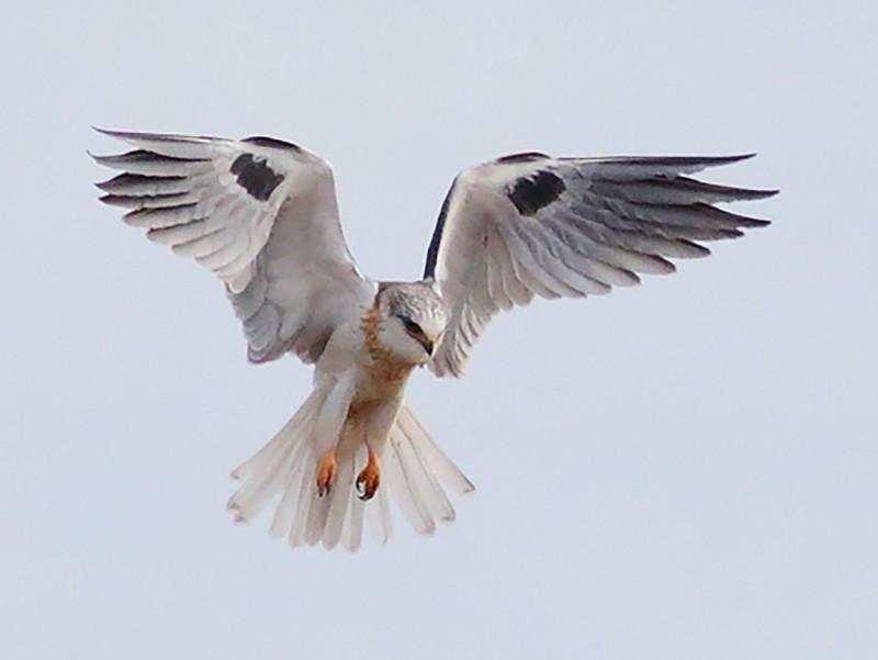 White-tailed Kite - Dwight Porter