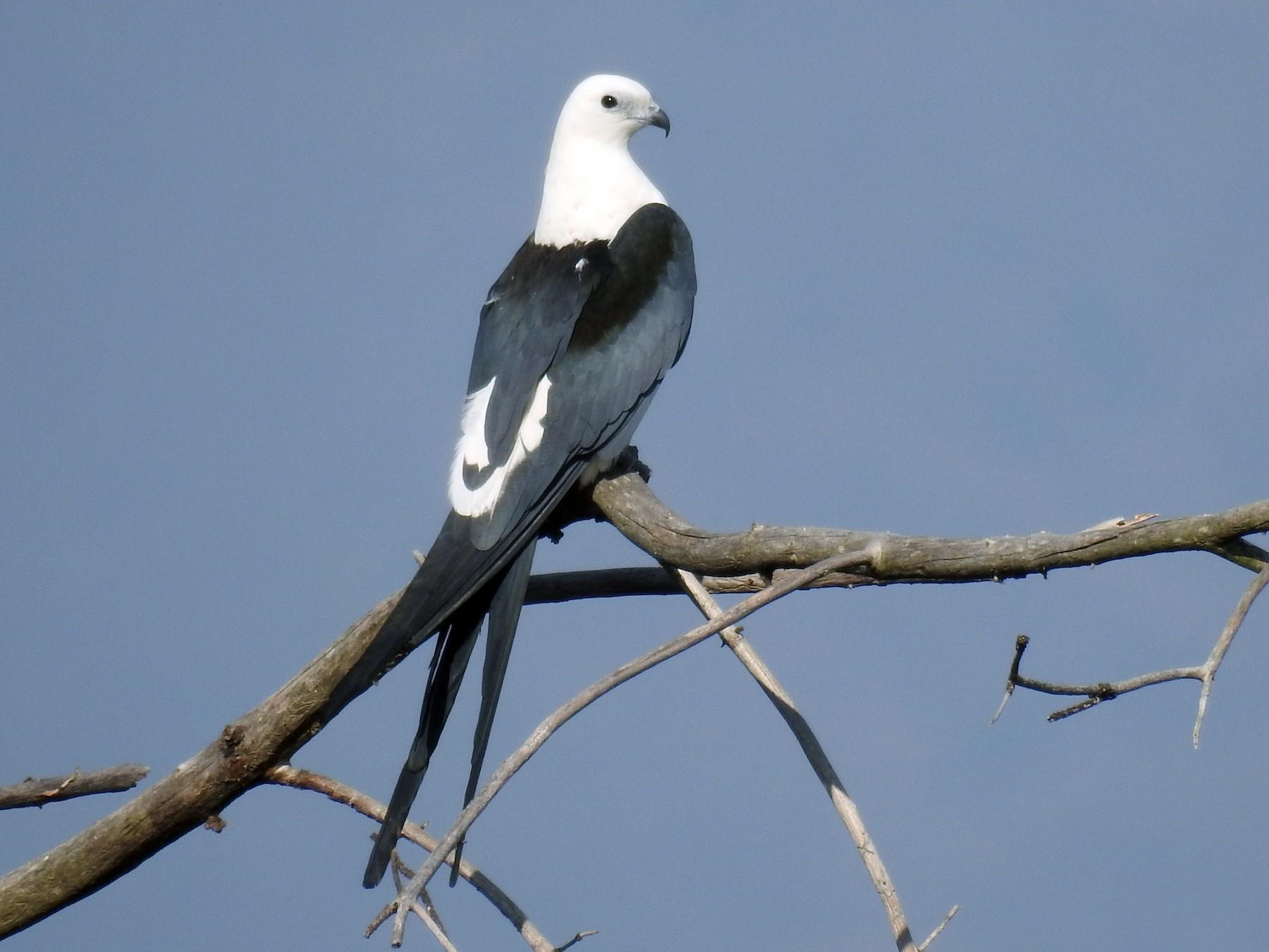 Swallow-tailed Kite - Romel Romero