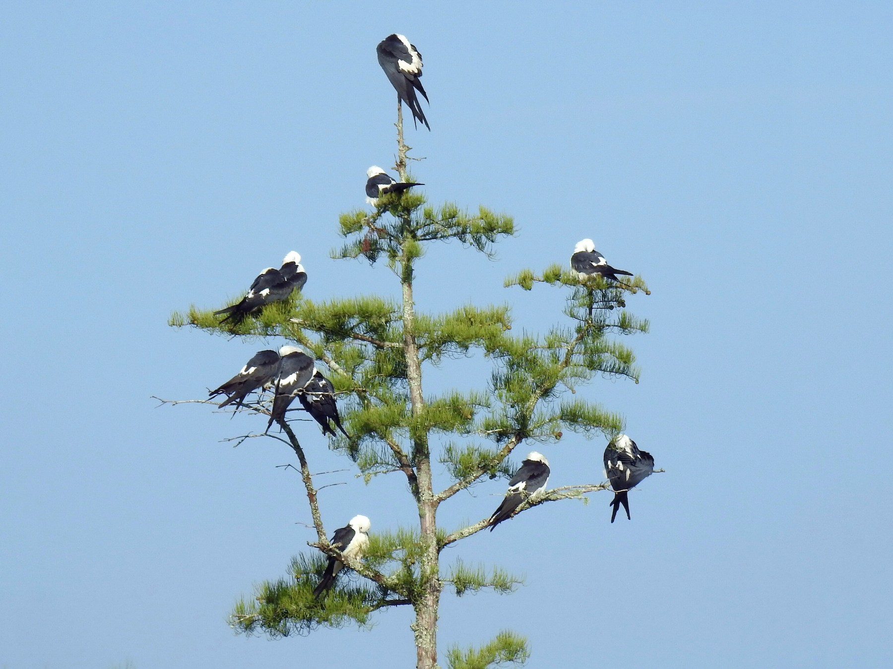 Swallow-tailed Kite - deborah grimes