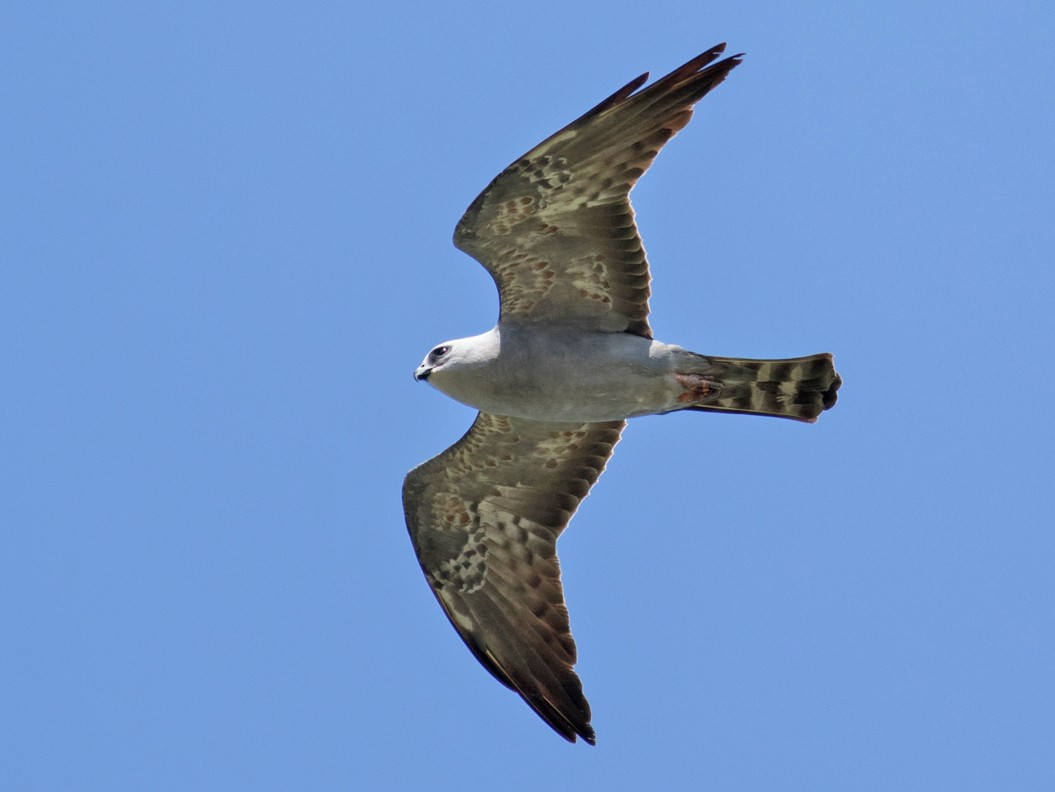 Mississippi Kite - Tom Johnson