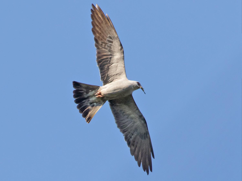 Mississippi Kite - Ashley Bradford