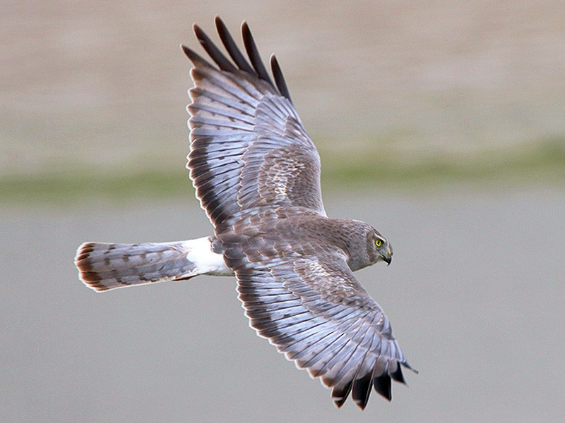 Northern Harrier - Tim Avery