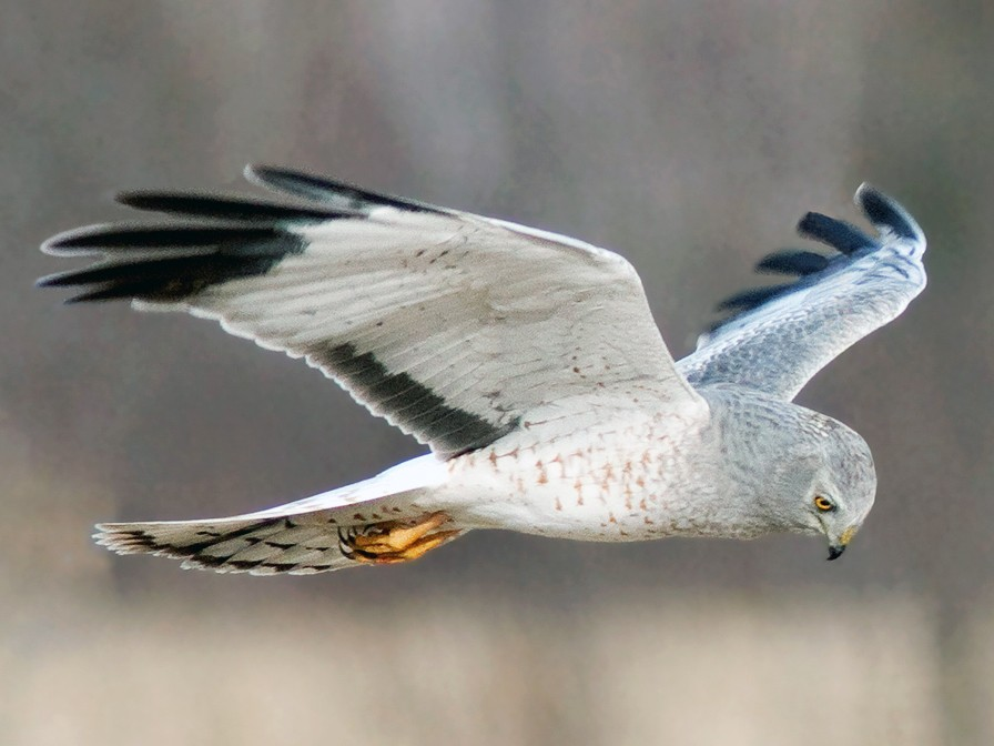 Northern Harrier - Suzanne Labbé