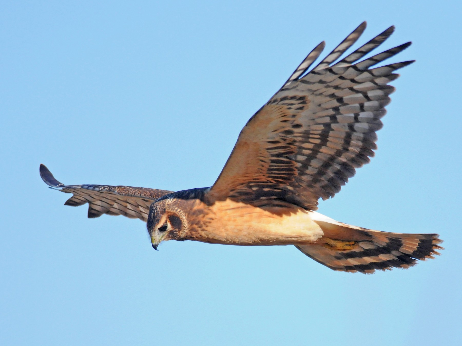 Northern Harrier - Steven Mlodinow