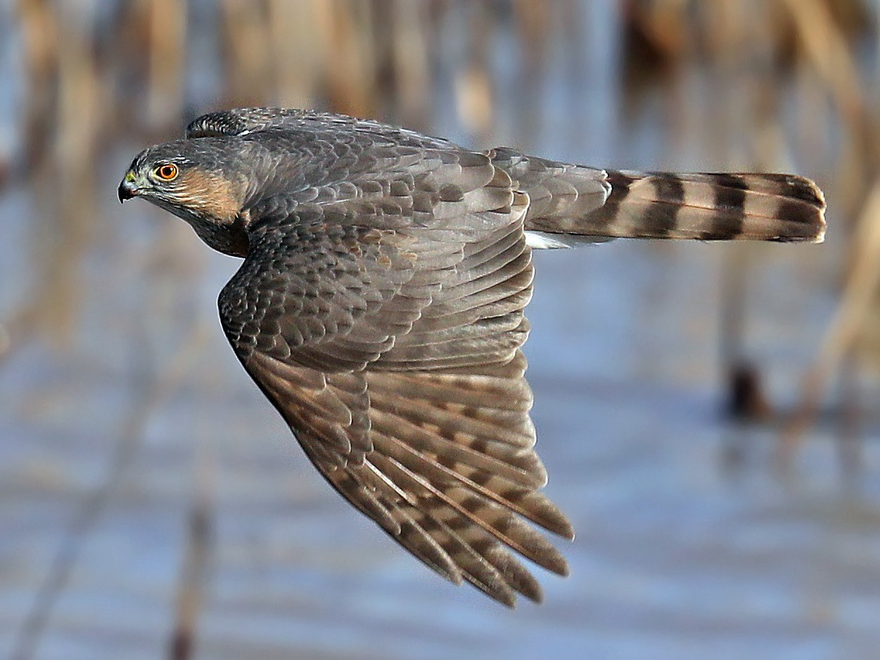 Sharp-shinned Hawk - Matt Davis