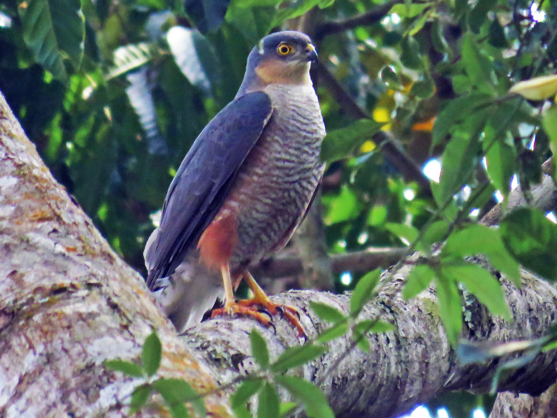 Sharp-shinned Hawk - Alex Mesquita