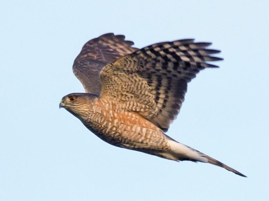 Sharp-shinned Hawk - Alix d'Entremont
