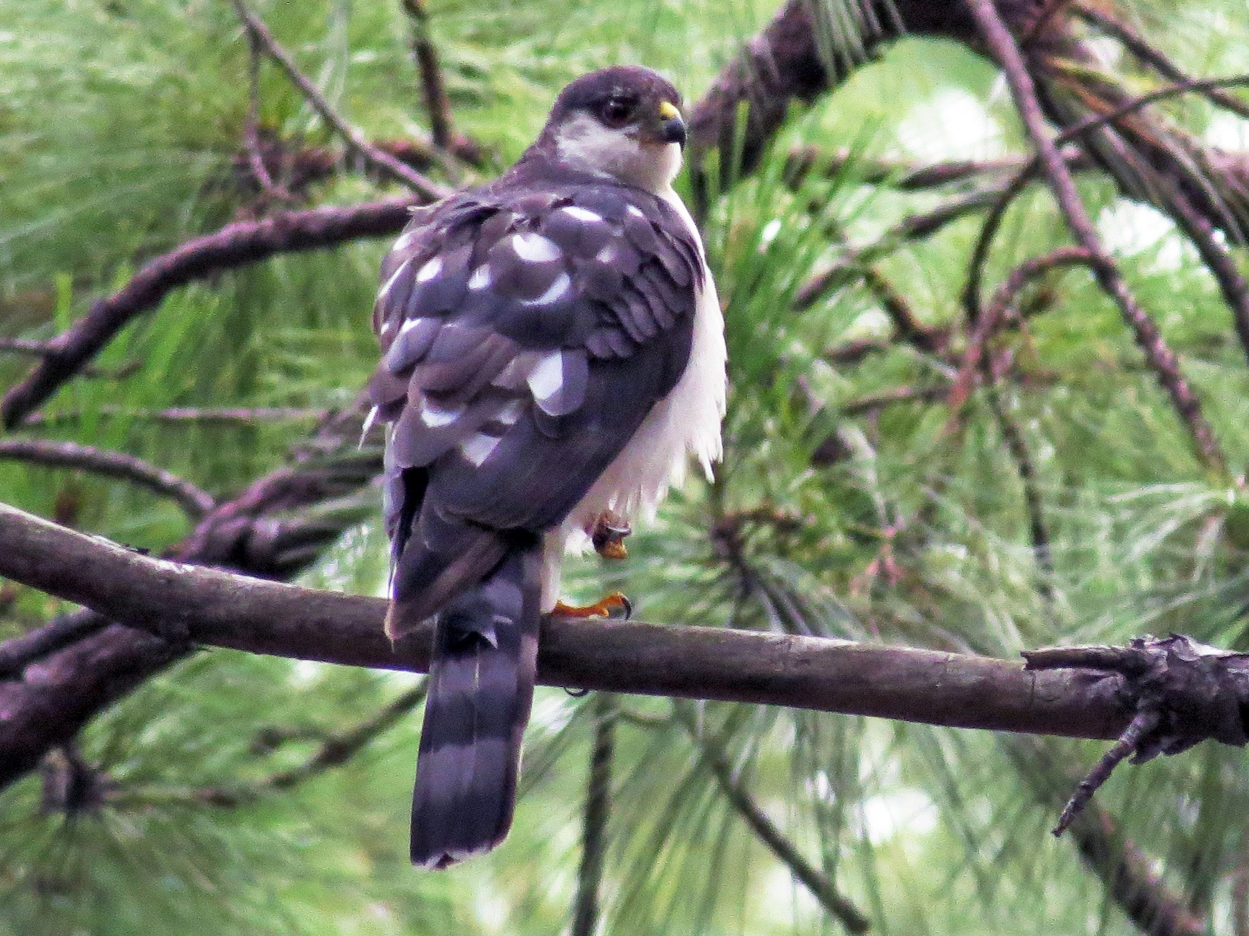 Sharp-shinned Hawk - John van Dort
