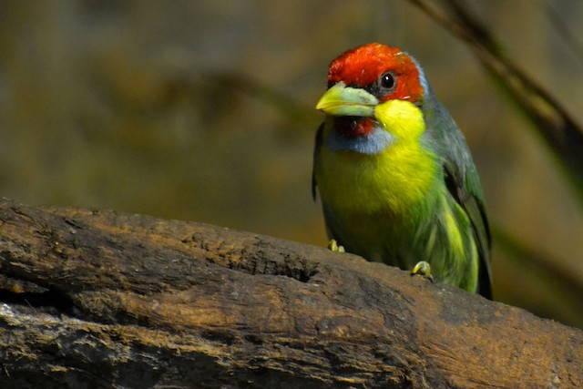 Versicolored Barbet (Blue-chinned)