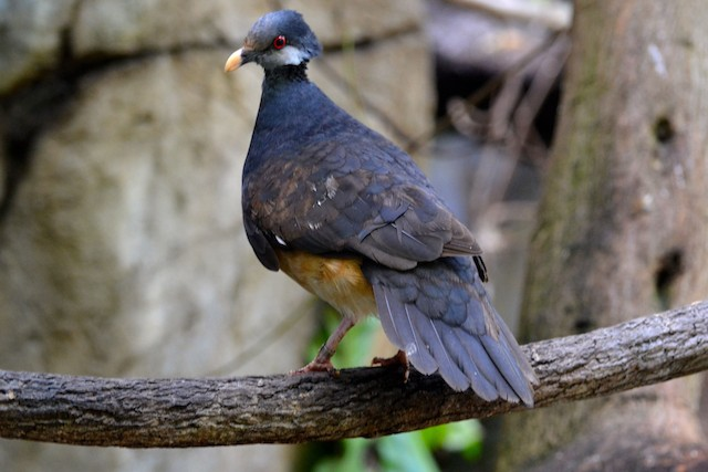 Thick-billed Ground-Pigeon
