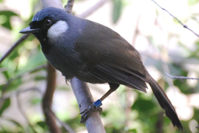 Black-throated Laughingthrush (Black-throated)