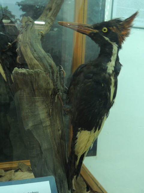 Ivory-billed Woodpecker (Cuban)
