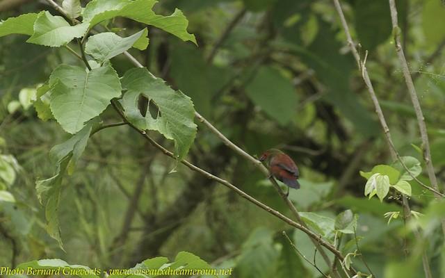 Red-faced Crimsonwing (Western)
