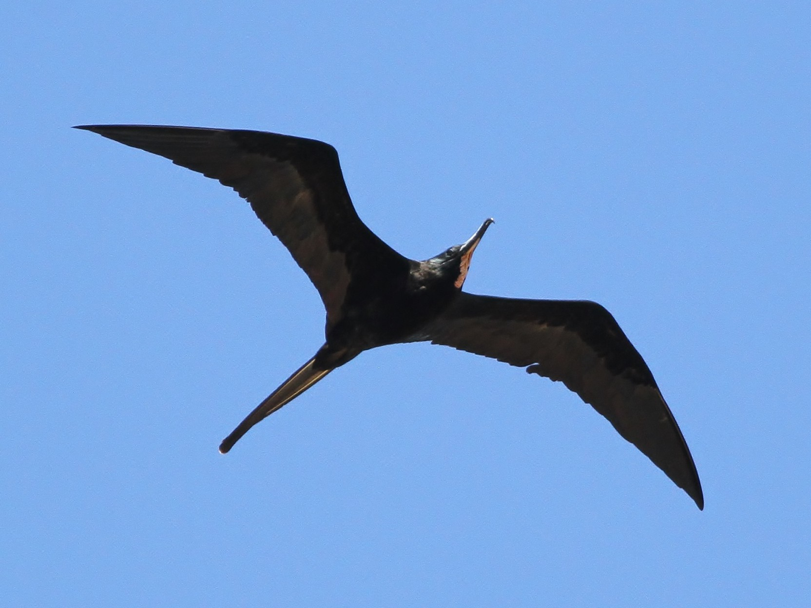Magnificent Frigatebird - Alex Lamoreaux