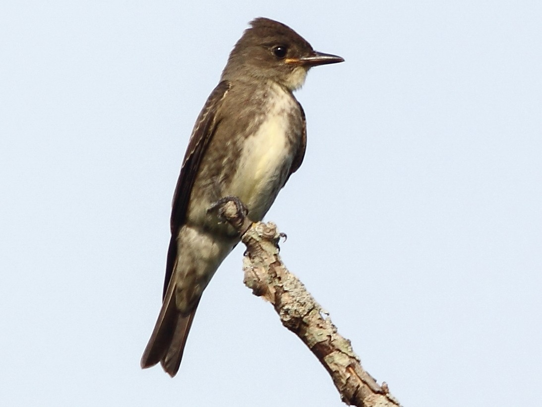 Olive-sided Flycatcher - Brendan Klick