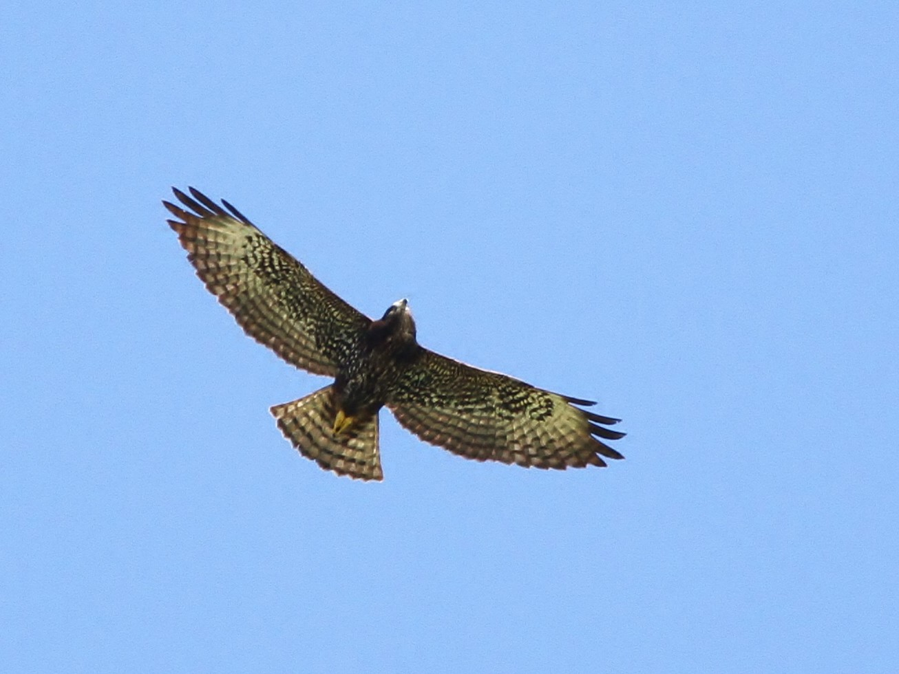 Short-tailed Hawk - Alex Lamoreaux