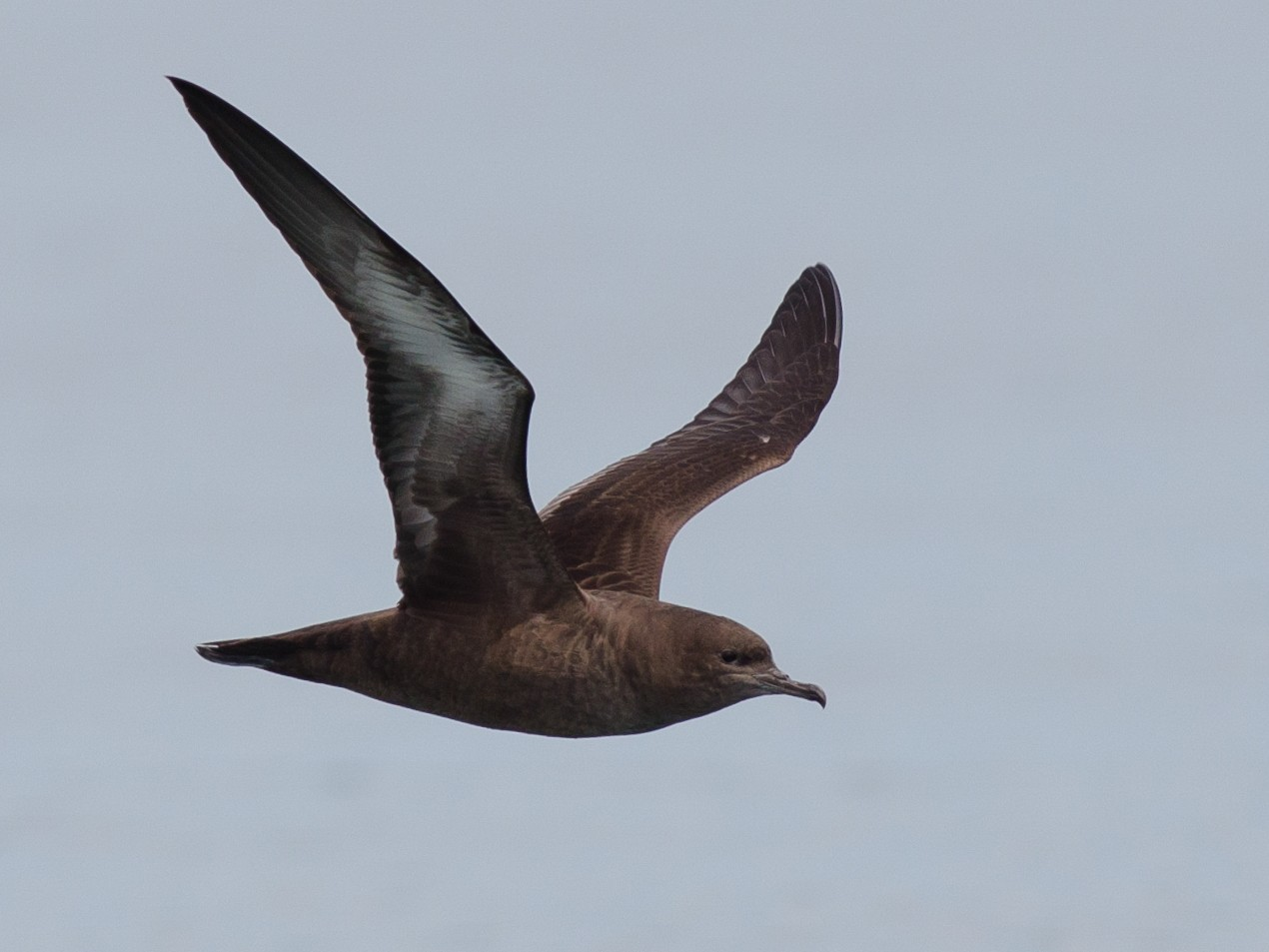 Sooty Shearwater - Alix d'Entremont