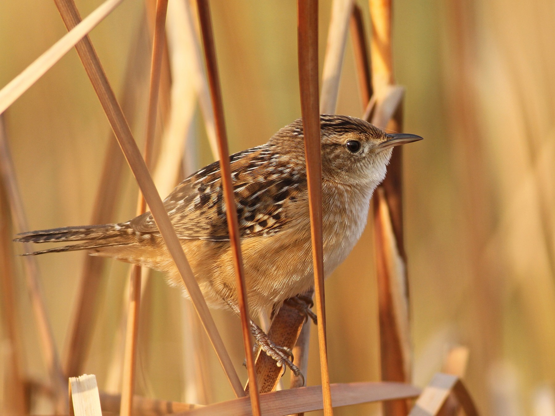 Sedge Wren - Evan Lipton