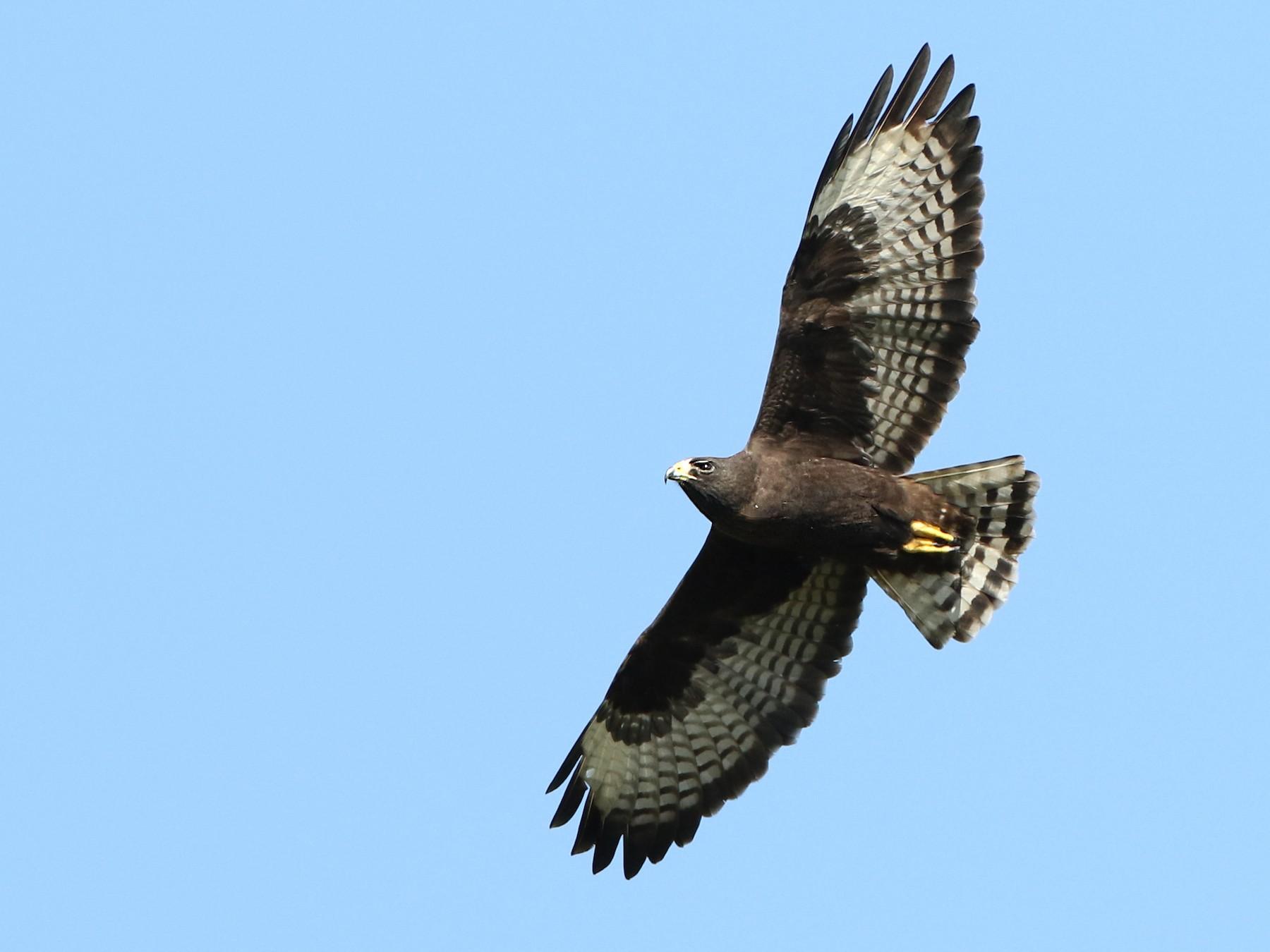 Short-tailed Hawk - Luke Seitz
