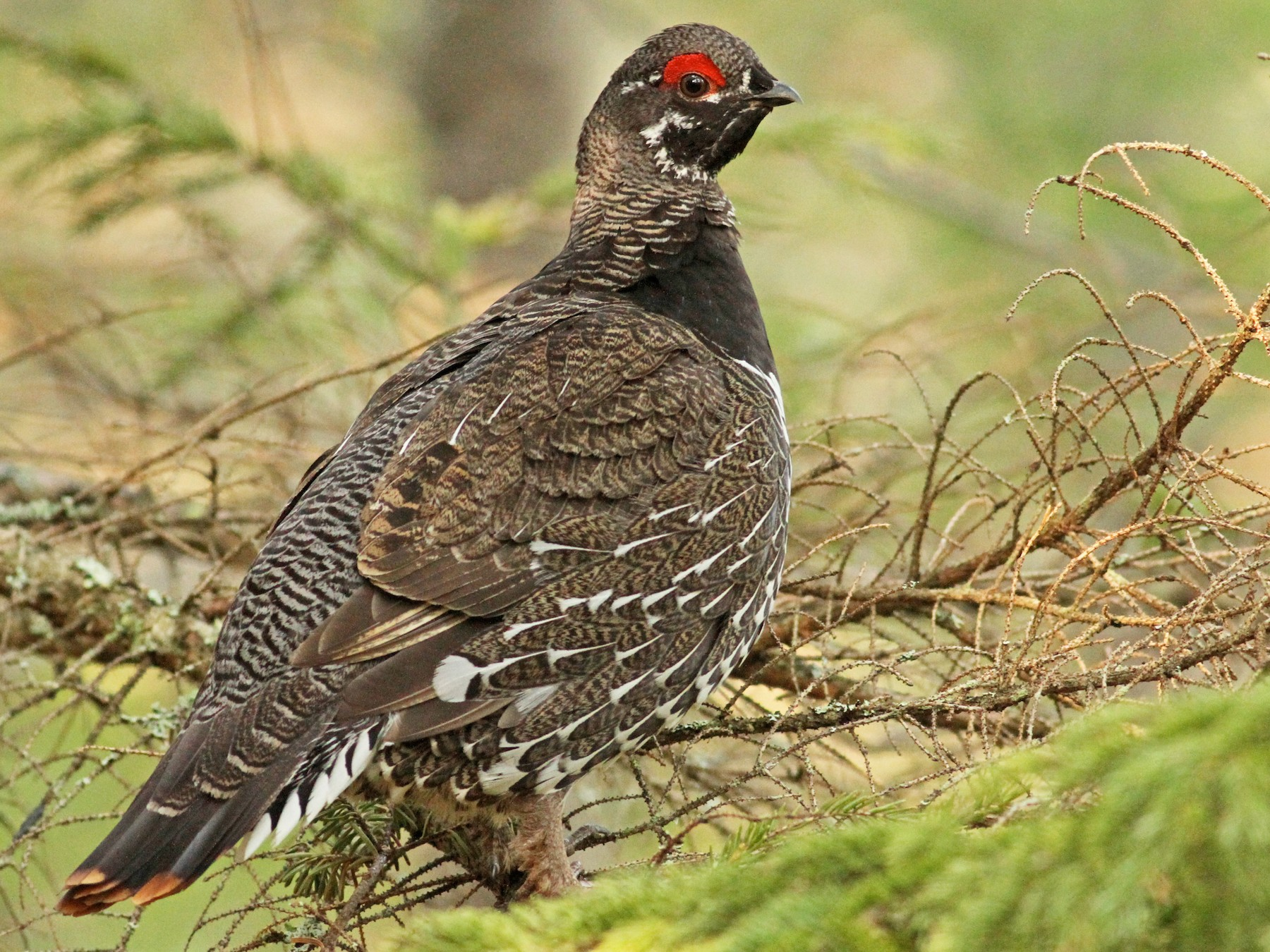 Spruce Grouse - Luke Seitz