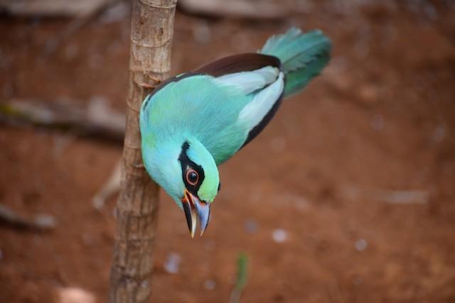 Javan Green-Magpie
