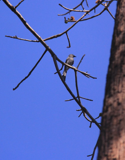 Ashy Drongo (Chinese White-faced)
