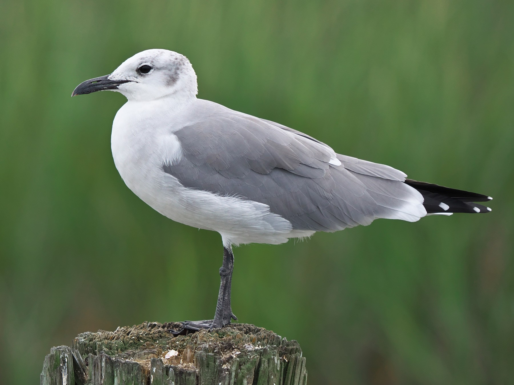 Laughing Gull - Paul Tavares