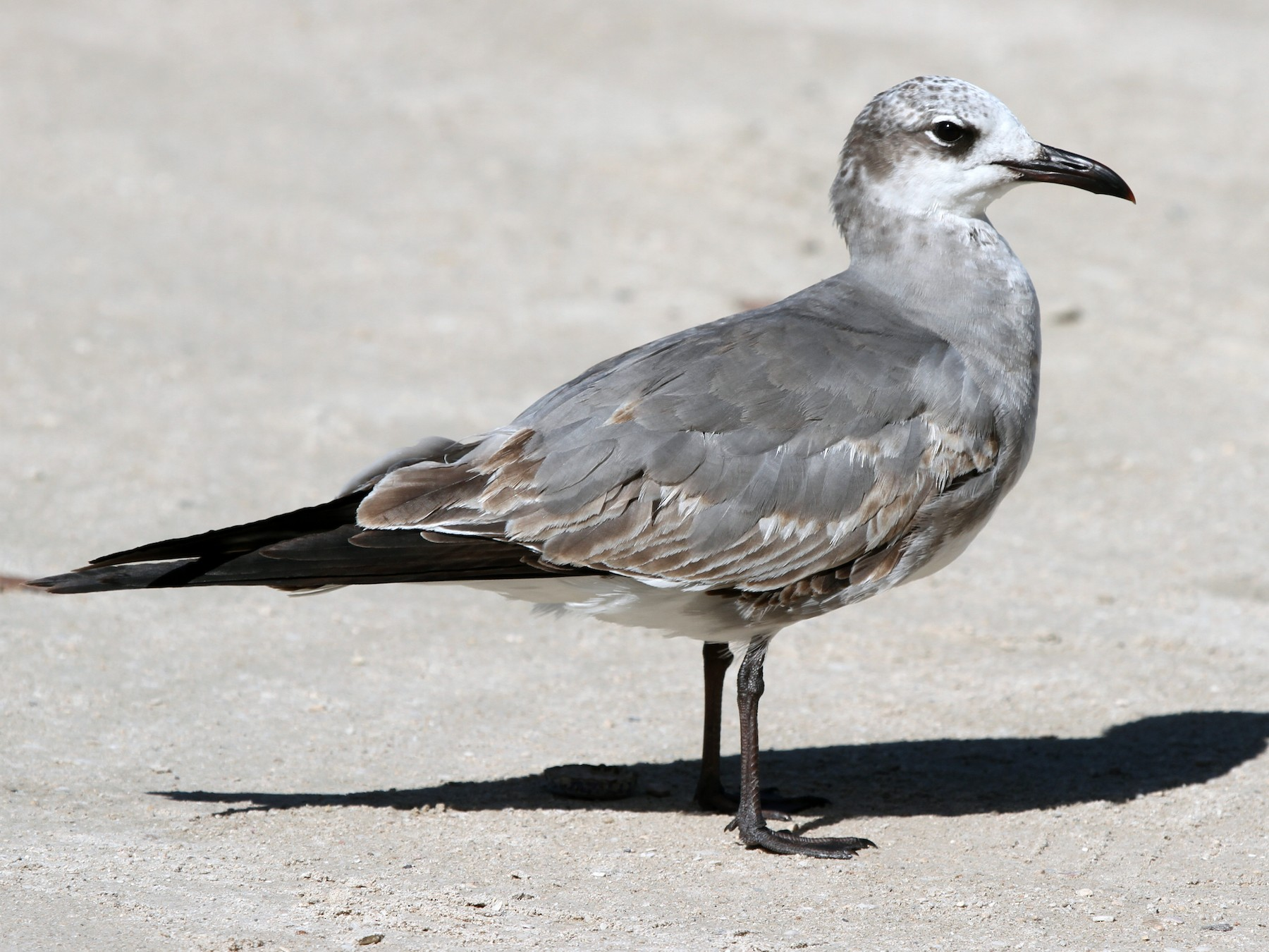 Laughing Gull - James (Jim) Holmes