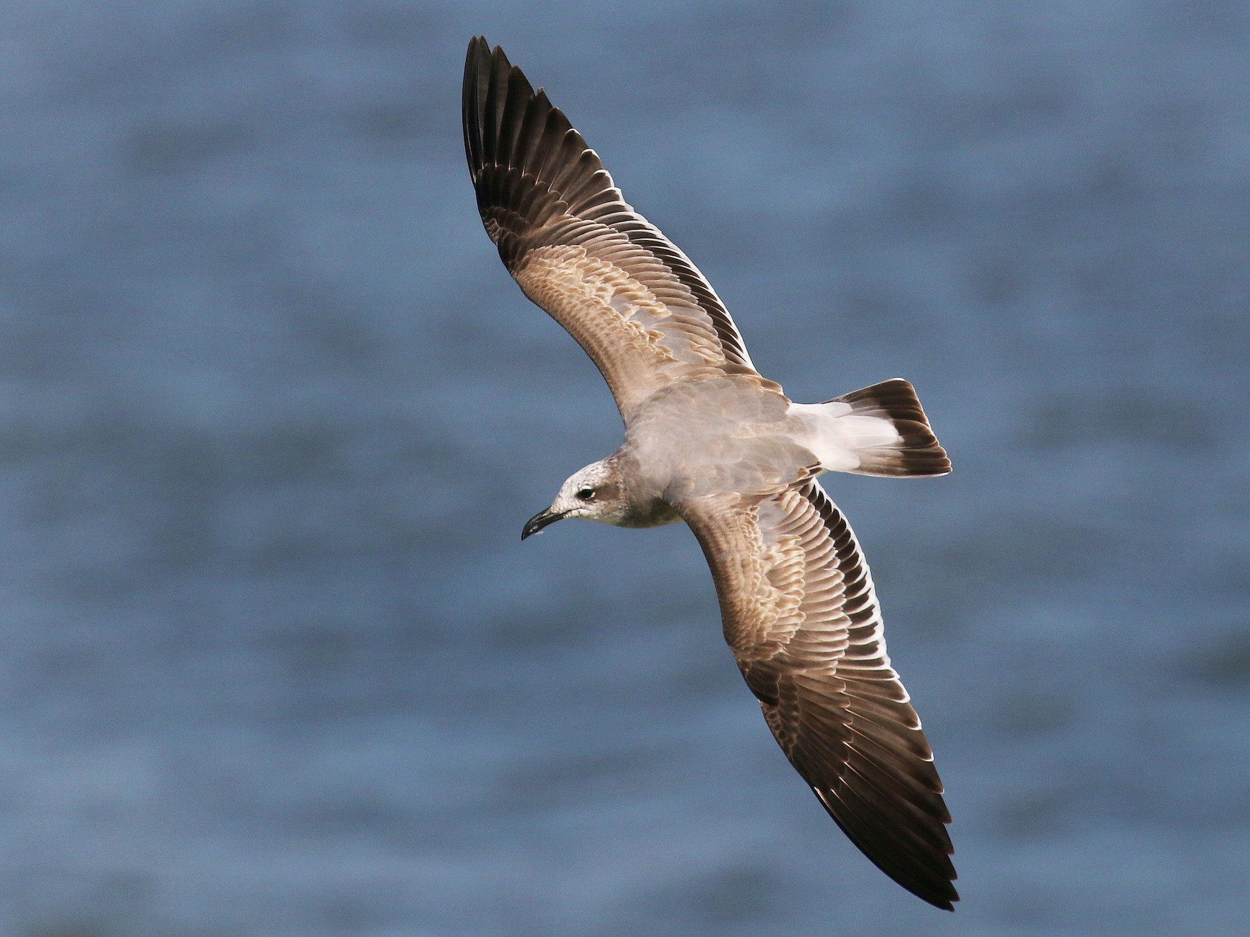 Laughing Gull - James Rieman