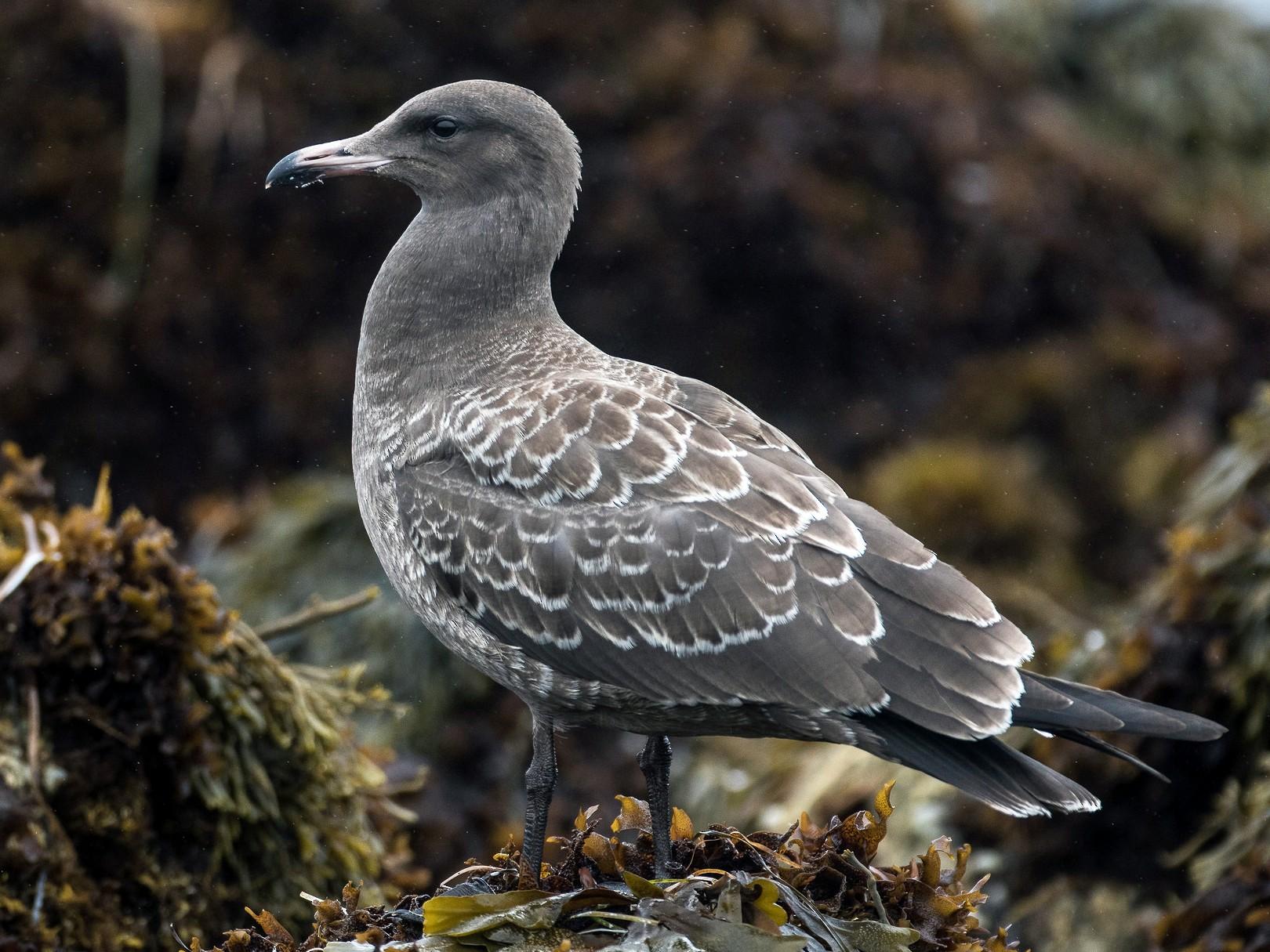 Heermann's Gull - Blake Matheson