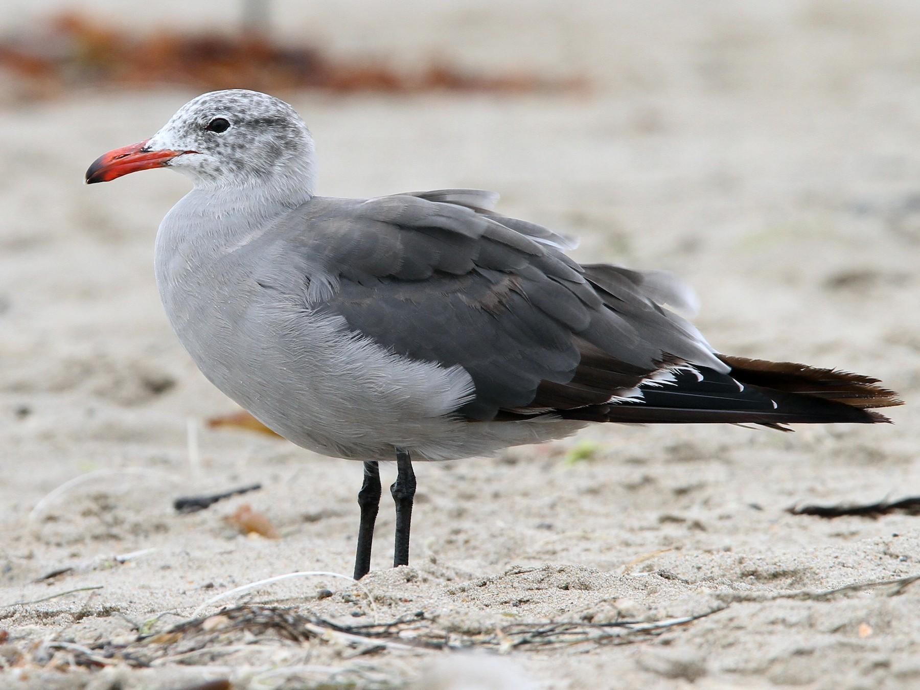 Heermann's Gull - Christoph Moning