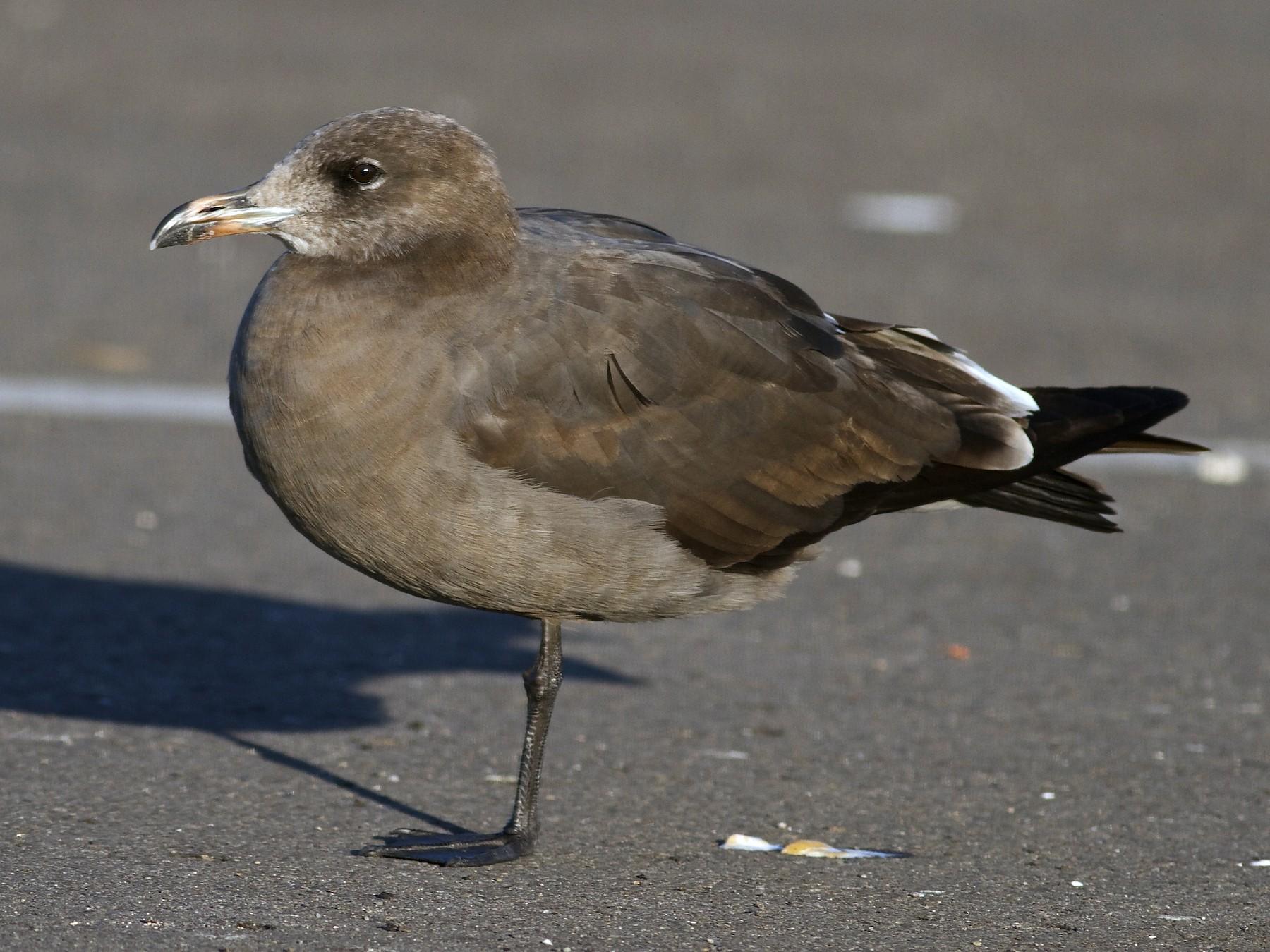 Heermann's Gull - Marc North