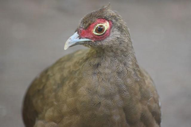 Salvadori's Pheasant (Hoogerwerf's)