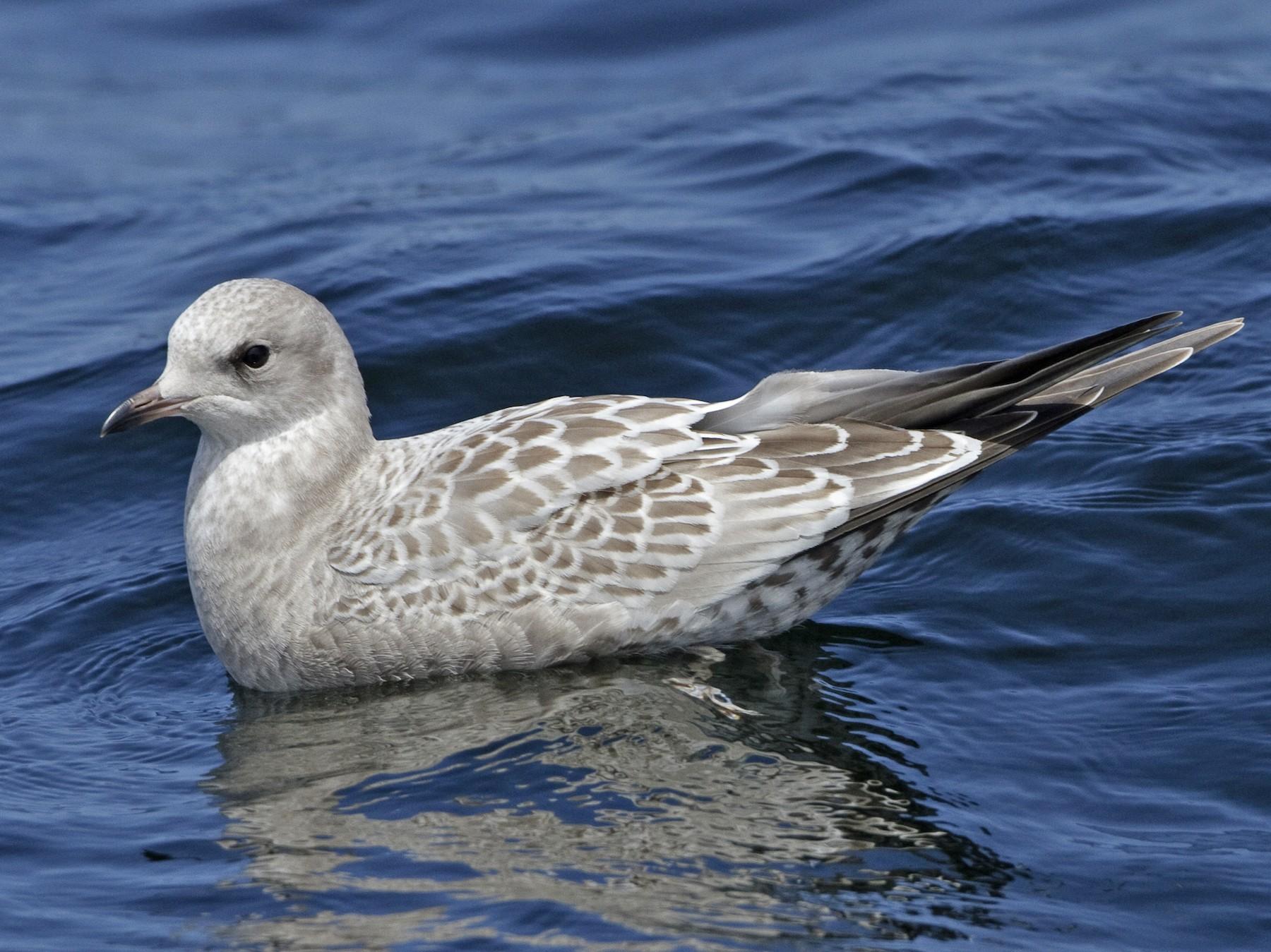 Mew Gull - Brian Sullivan