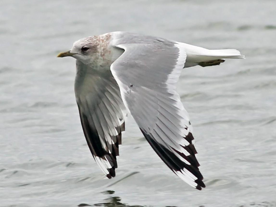 Mew Gull - Nick Bonomo