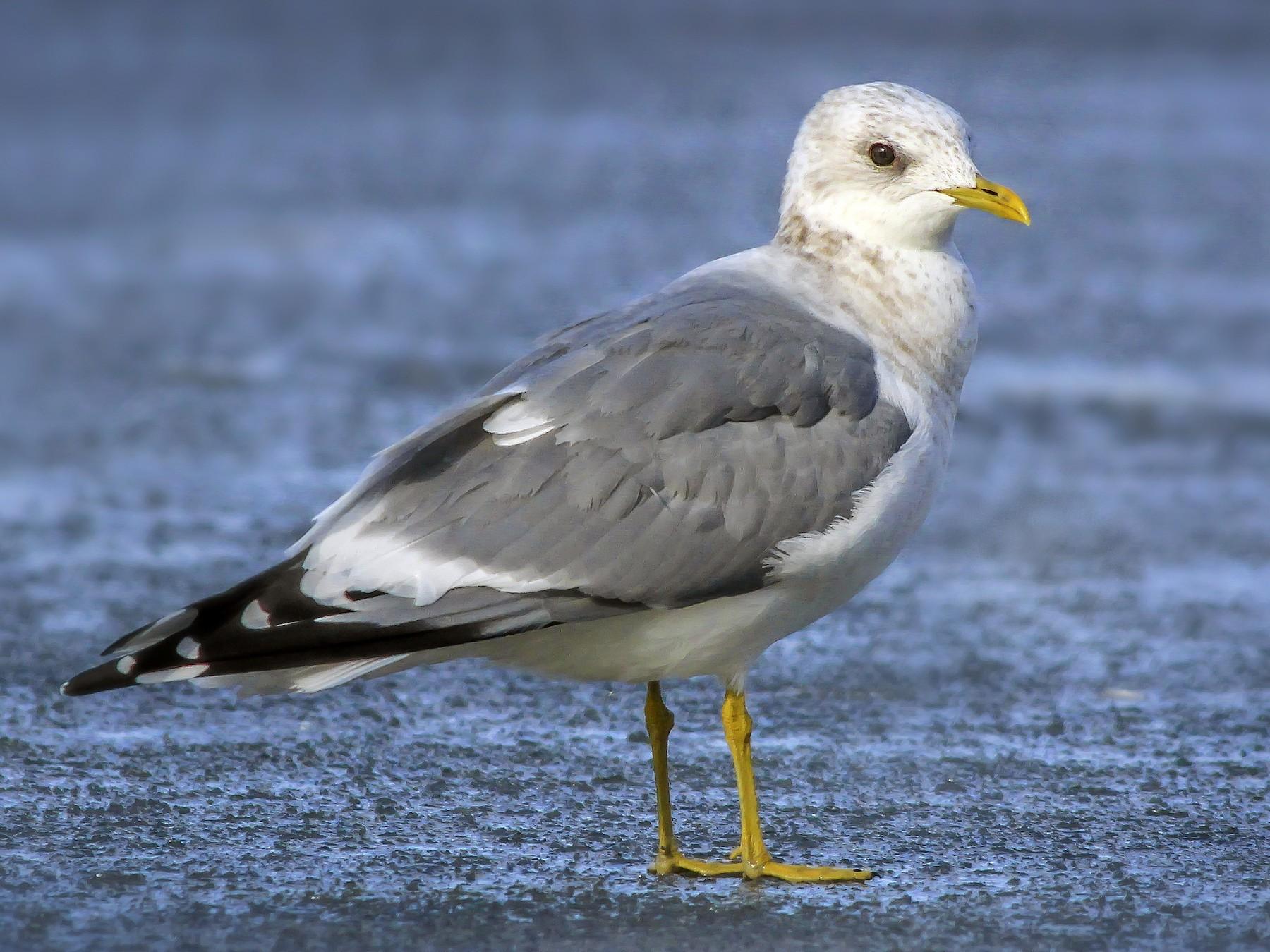 Mew Gull - Matthew Pendleton