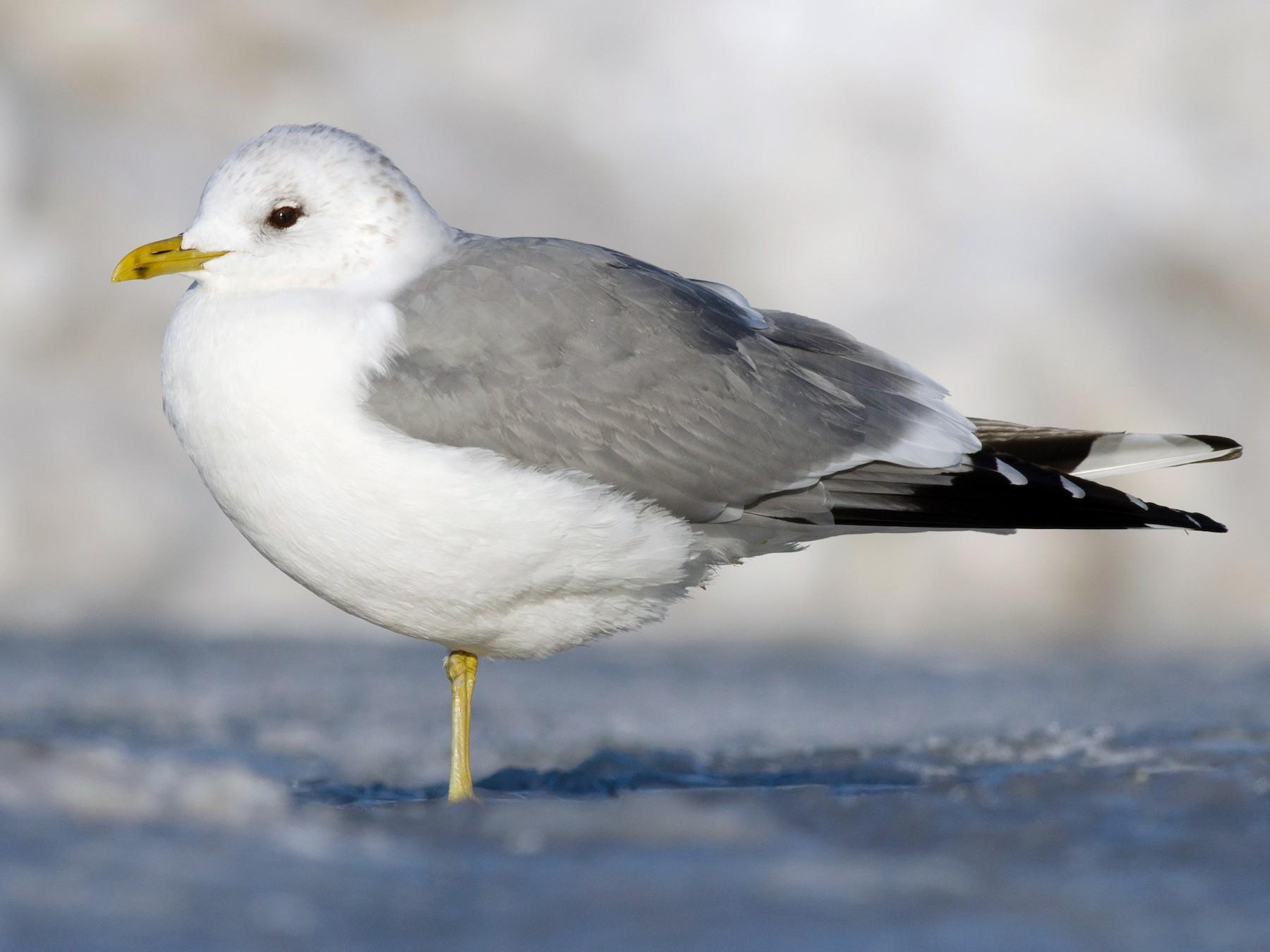 Mew Gull - Alix d'Entremont