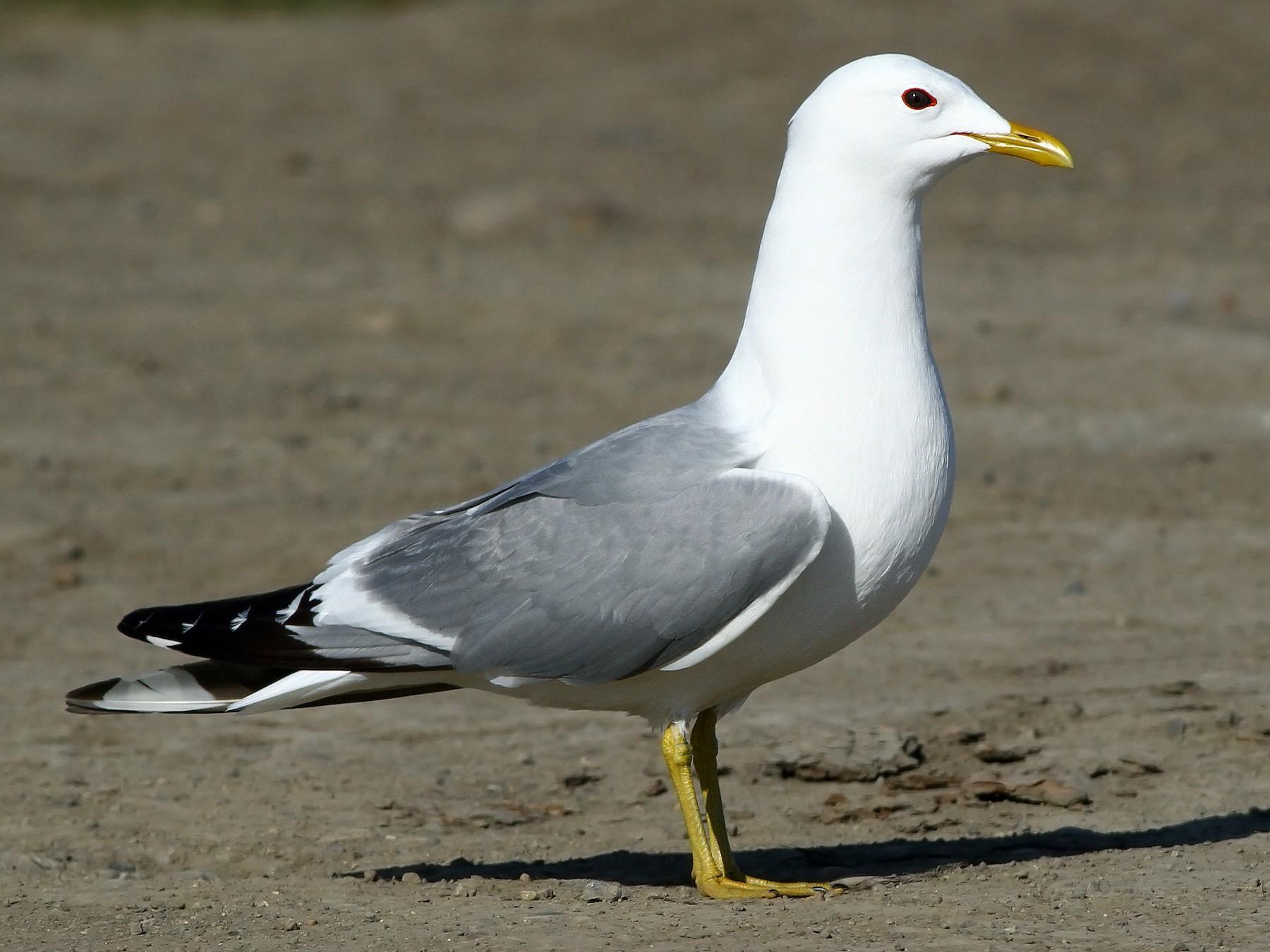 Mew Gull - Andrew Spencer