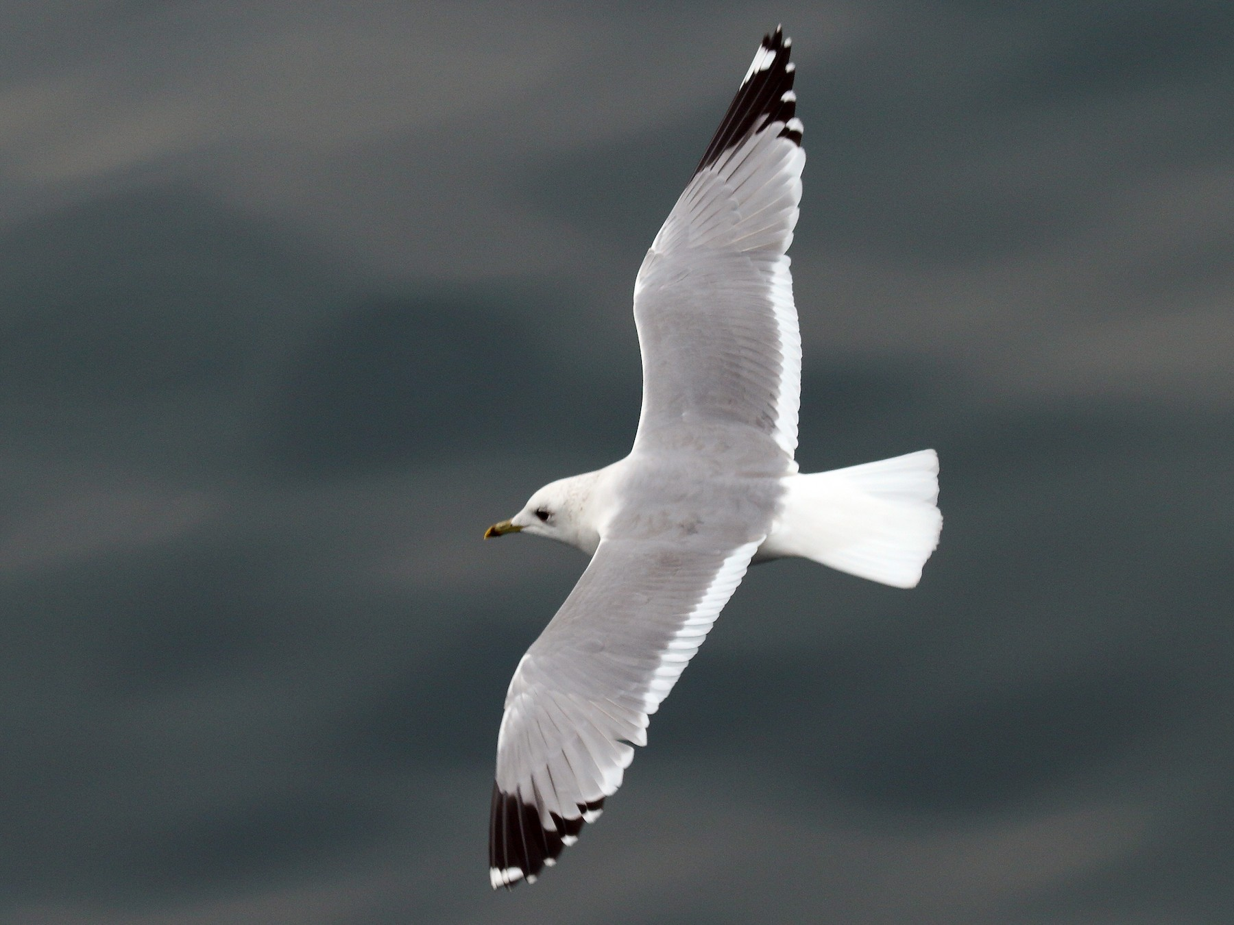 Mew Gull - Patrick J. Blake